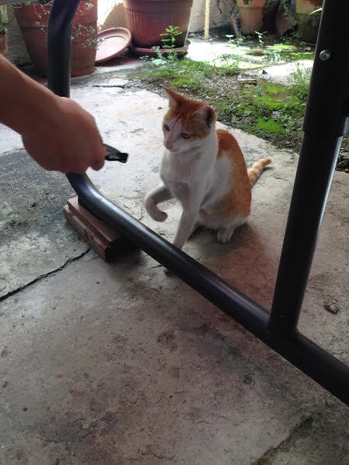 シャリーの飼い猫 パンプキン(2歳)