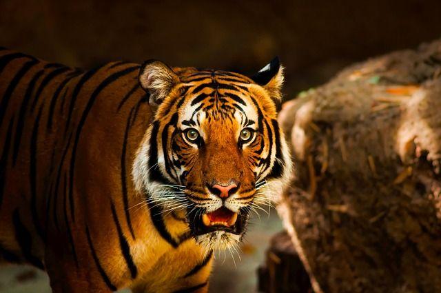 tiger-1863976_640-compressor