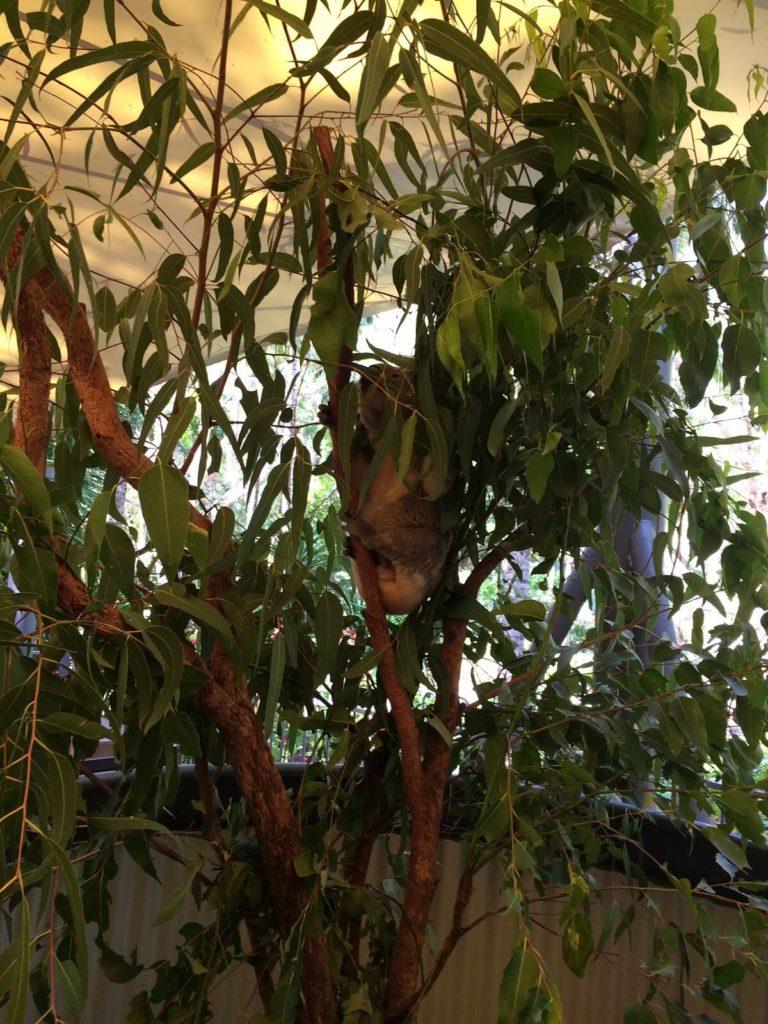 コアラと朝食食べるツアー